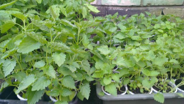 Лофант тибетский семена