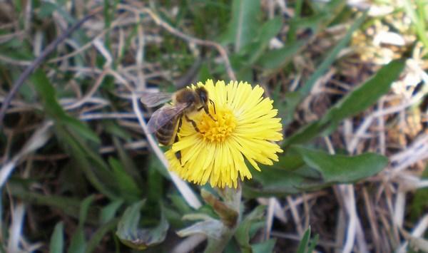 Пчела в мае на цветке