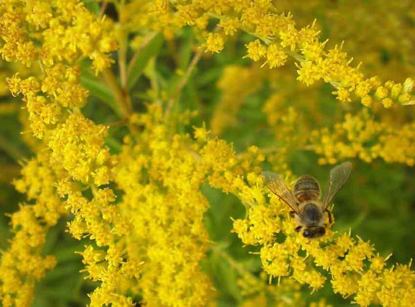 Пчела собирает нектар в августе
