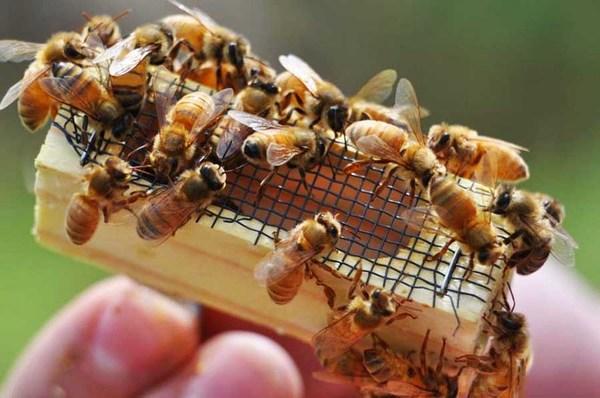 Вывод пчелиных маток ранней весной
