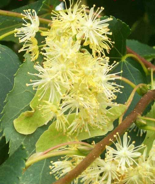 Липовый мед, полезные свойства натурального продукта