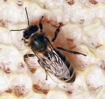 Макросъёмка медоносной пчелы на сотах