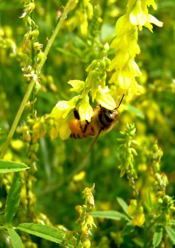 мед донник лекарственный